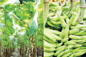 Yam, Cassava, Plantain Processing: Delta is part of Nigeria's food basket. Investment in this area is worth considering.