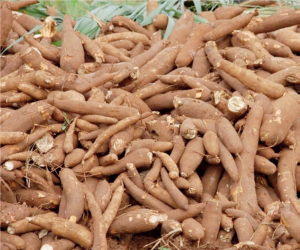Cassava: Processing factory in small and medium business categories has huge business potential