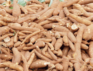 Cassava Cultivation and Processing